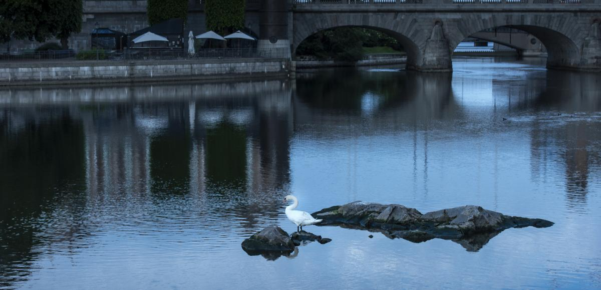 Swan standing on a rock in the water, old bridge in the background