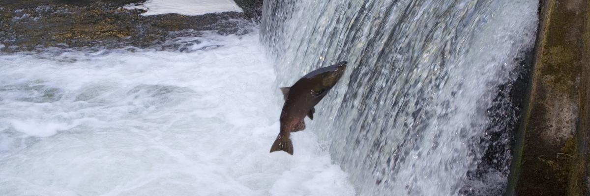 A fish jumping a small weir spillway