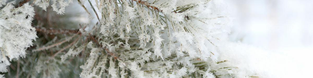 Covered with hoarfrost and snow, twigs and pine needles