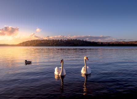 Two white swans floating on still lake