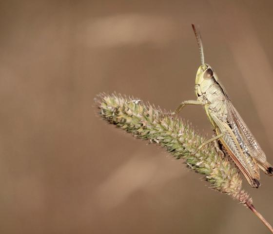 Close up of a cricket in a wheat field